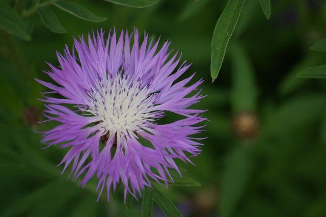 k-Flockenblume